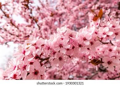 Cherry blossom, sakura flowers in a park in Madrid, Spain