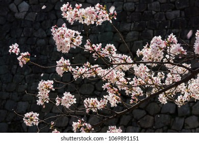 Cherry blossom or Sakura flowers with rock wall background. They are in Osaka Japanese Castle, Japan.