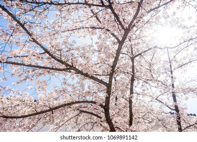 Cherry blossom or Sakura flowers with sunlight. They are in Osaka Japanese Castle, Japan.