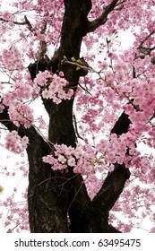 Cherry Blossom (Sakura) in Japan