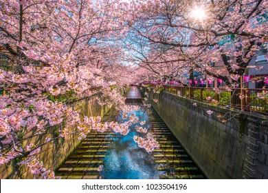 Cherry blossom sakura lined Meguro Canal in Tokyo, Japan.