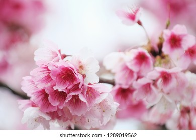 Cherry Blossom (Sakura) macro photography with blur background in Taipei, Taiwan.