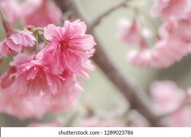 Cherry Blossom (Sakura) macro photography with blur background in Taichung, Taiwan.