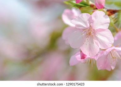 Cherry Blossom (Sakura) macro photography with blur background in Taichung, Taiwan.