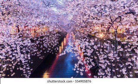 Cherry blossom or Sakura at Meguro Canal in Tokyo, Japan. at twilight.