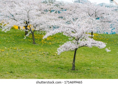 Cherry blossom sakura park in Vilnius city center, Lithuania