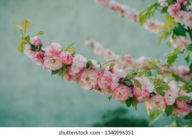 cherry blossom sakura in spring close up