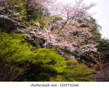 Cherry blossom (sakura) tree and green maple tree in Japan. Natural background