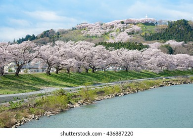 The Cherry blossom (Sakura) trees along the bank of Shiroishigawa river in Miyagi, Japan. This place called Hitome Senbon Sakura (meaning one thousand Cherry blossom trees in one glance).