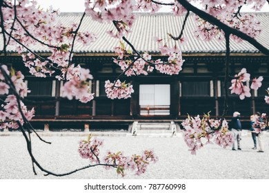 Cherry Blossom at Sanjusangendo Temple during Spring in Kyoto, Japan