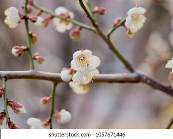 Cherry blossom scenery in Korea