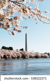 cherry blossom season of Washington DC
