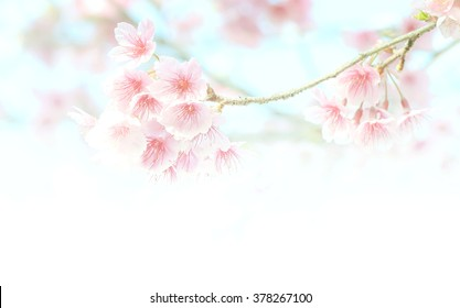 Cherry blossom, selective focus and diffused background in Spring time