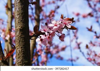 cherry blossom with sky background,soft focus