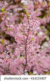 Cherry Blossom with Soft focus, Sakura season in japan - Shutterstock ID 414155407