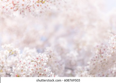 Cherry blossom in spring, full bloom flowers for background or copy space for text