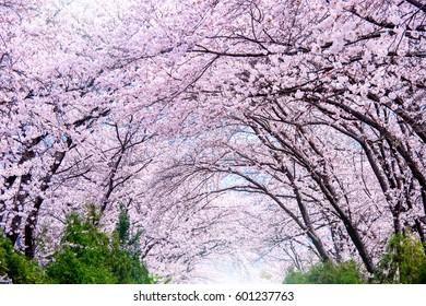 Cherry blossom in spring. Jinhae Gunhangje Festival is the largest cherry blossom festival in South Korea.