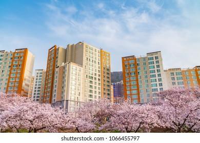 Cherry blossom of Spring in jinhae, South Korea