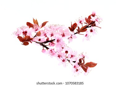 Cherry Blossom. Spring pink flowers isolated on white. Sakura cherry.