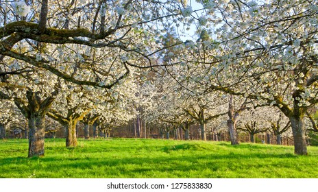 Cherry blossom in spring, Remstal, Germany