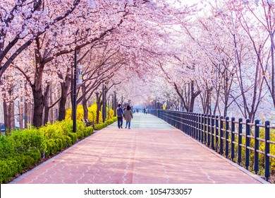 Cherry blossom of Spring in Seoul, South Korea .