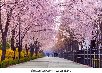 Cherry blossom of Spring in Seoul, South Korea .