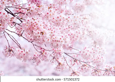 Cherry Blossom in spring with Soft focus, Sakura season in korea,Background.