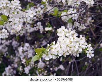 Cherry blossom in spring time in orchard: tender white cherry flowers and fresh new leaves on a branch, symbol of spring