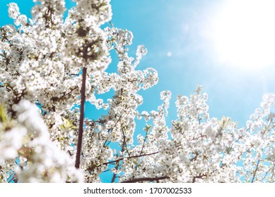 cherry blossom in spring. spring tree blooming background.