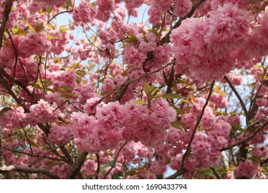 Cherry Blossom in Springtime, Beautiful Pink Flowers