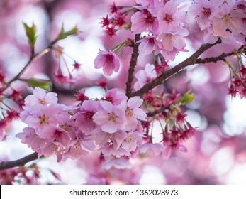 Cherry blossom ,Springtime of Sakura flower seasonal in Toyko ,Japan