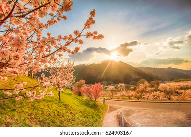 Cherry Blossom in springtime tree on blue sky and sakura on road , Nagano,Japan.