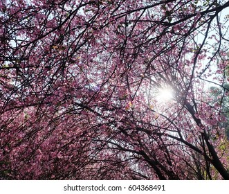 Cherry blossom with sun light