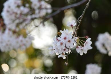 日光の下に桜が咲く