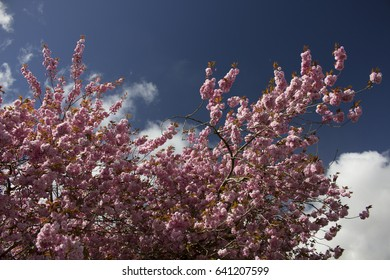 Cherry blossom at the top of a Cherry Tree.