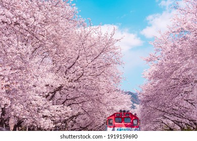Cherry blossom with train in spring in Korea is the popular cherry blossom viewing spot, jinhae South Korea. - Shutterstock ID 1919159690