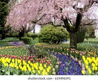 Cherry Blossom Tree with abundance of flowers