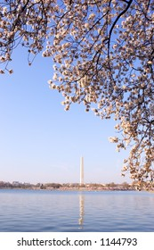 Cherry blossom tree in bloom around the Tidal Basin in Washington, DC, USA.