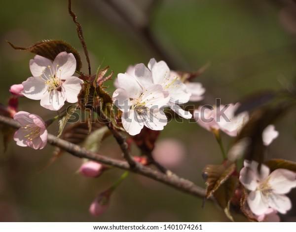 Cherry Blossom Tree Bloom Closeup Sakura Stock Photo Edit