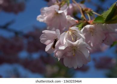 cherry blossom tree blooming in the sunshine