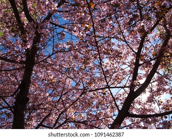 Cherry blossom tree and blue sky