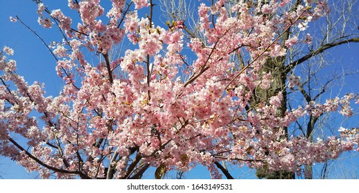 Cherry blossom, cherry tree, japan