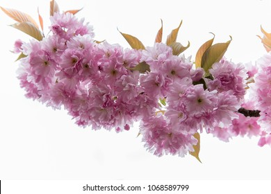 Cherry blossom tree on white background in spring to summer. blooming cherry blossom with pink rose flowers on the branch