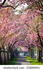 Cherry Blossom. Blossom tree over nature background. Spring flowers. Spring Background