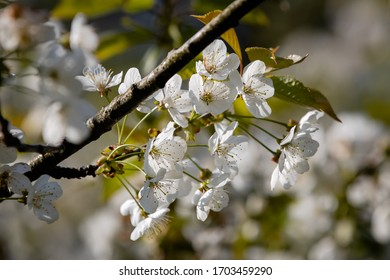 A cherry blossom tree in a soft background composition