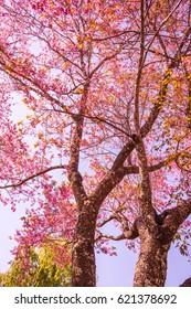 Cherry blossom tree, Thailand.