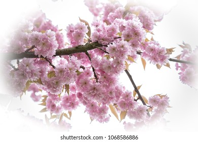 Cherry blossom tree with vignette in spring to summer. blooming cherry blossom with pink rose flowers on the branch