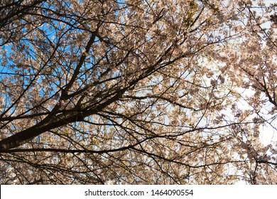 Cherry blossom trees against the sky