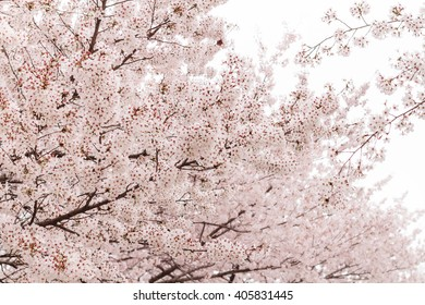 Cherry Blossom Trees Against a White Background Sky in Dream Forest in Seoul, South Korea