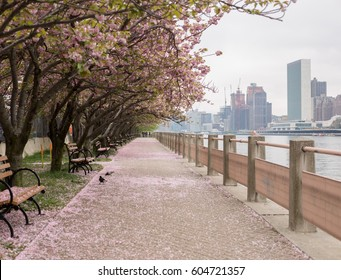 Cherry Blossom Trees along Walkway in Roosevelt Island, New York